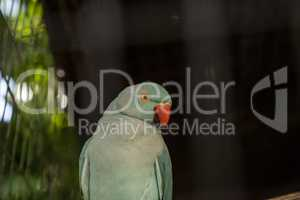Pale blue Indian Ringneck Parakeet is also called the Noble Para