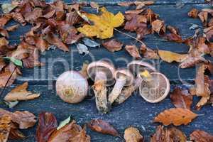 Chroogomphus rutilus or  Brown slimecap, or Copper spike mushroo