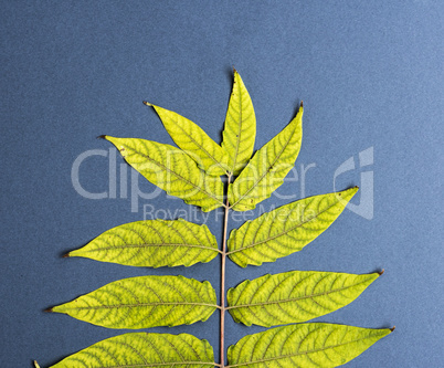 tree branch Ailanthus altissima