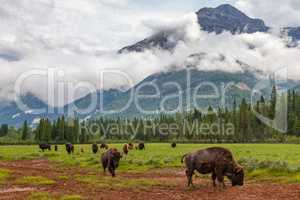 Herd of American Bison or Buffalo With Mountain Background