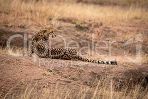 Cheetah lies on dirt mound looking back