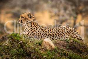 Cheetah lies on grassy mound with rock