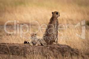 Cheetah on mound with back to cub