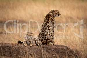 Cheetah sits by cub on dirt mound