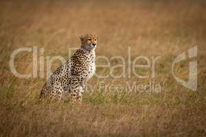 Cheetah sits in long grass looking ahead