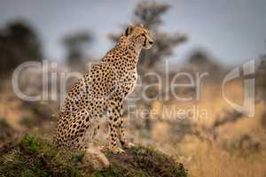 Cheetah sits on grassy mound among trees