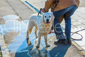 dirty dog gets cleaned after walk