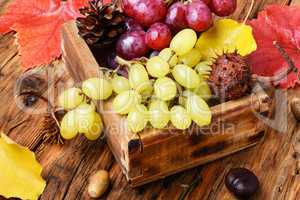 bunch of autumn grapes