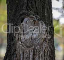 sawn big branch on acacias, a section of a tree knot with rings