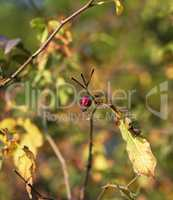 rose hip shrub with autumn afternoon