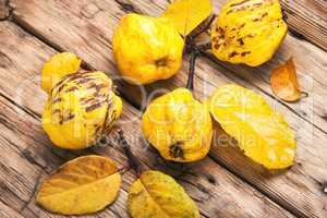 Fragrant autumn quince