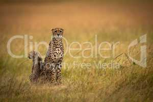 Cheetah sits side-by-side with cub in grassland