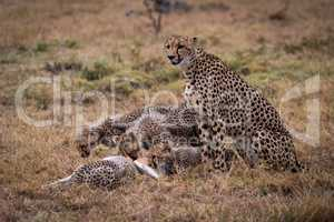 Cheetah sits watching cubs eat Thomson gazelle