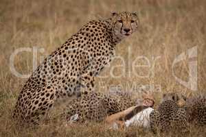 Cheetah sitting as cubs eat Thomson gazelle