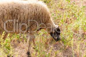 sheep grazing among olive trees on the Greek coast