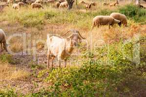 a herd of sheep and goats grazing among the olive trees on the coast of Greece