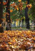 Falling dry maple leaves in autumn park