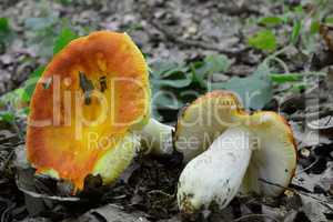 Two Russula aurea or Gilded brittlegill mushrooms