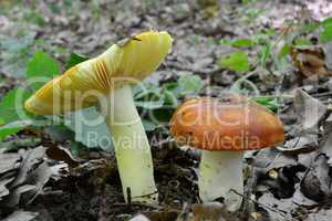 Russula aurea growing from forest soil