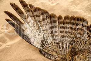 wing of a young herring gull on a beach of the Baltic sea