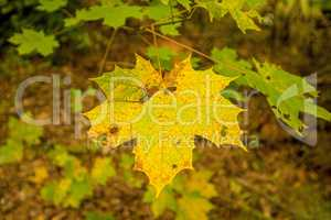 maple leaf in autumnal colors