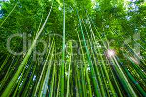 Bamboo forest in Anduze, France