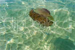 Cotylorhiza Mediterranean jellyfish in the sea near the coast of Greece