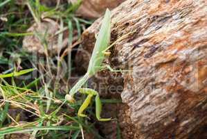 insect praying mantis in their natural habitat