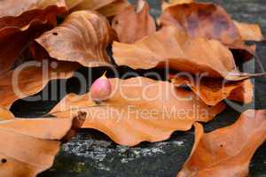 Beech Gall midge's or gall gnat's cocoon
