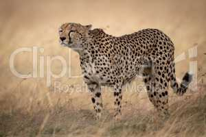 Cheetah stands sniffing wind in long grass