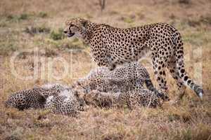 Cheetah stands watching cubs eat Thomson gazelle