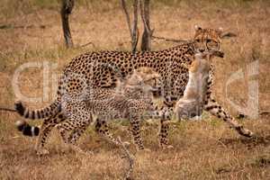 Cheetah walking with scrub hare beside cub
