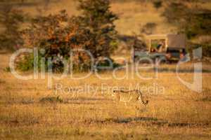 Cheetah walks across grassland with truck behind