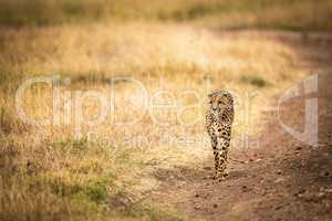 Cheetah walks down dirt track through grassland