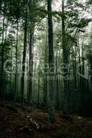 Mysterious dark forest in fog