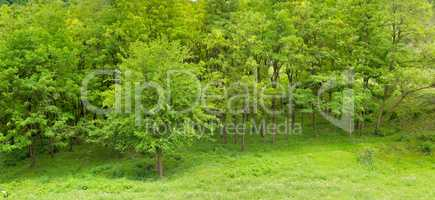 Forest in spring with green trees and bright day. Wide photo .