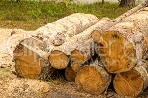 Timber wood, serrated in a forest