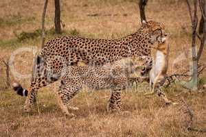 Cheetah walks with scrub hare beside cub