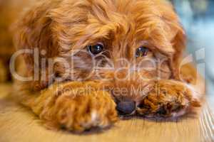 Cute Puppy Dog Laying Down Looking Sad