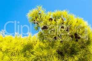 Evergreen pine on the beautiful sea coast. Halkidiki Greece