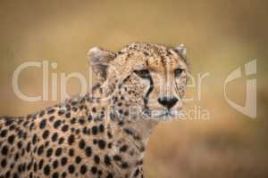 Close-up of cheetah standing staring in grassland