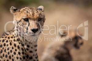 Close-up of cheetah with blurred cub behind