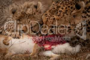 Close-up of cheetah with cub chewing hare