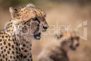 Close-up of cheetah yawning beside blurred cub