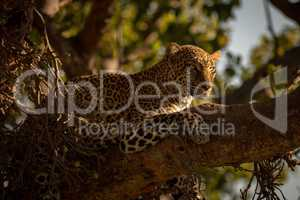 Close-up of leopard on branch looking ahead