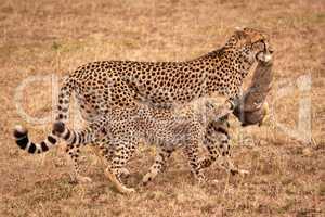 Cub bites scrub hare carried by cheetah
