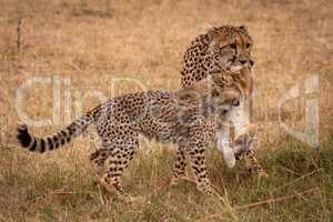 Cub biting scrub hare carried by cheetah