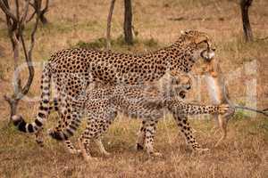 Cub claws scrub hare carried by cheetah