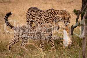 Cub claws scrub hare held by cheetah