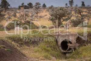 Cub enters concrete pipe watched by cheetah